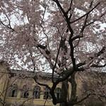 65022383 - 府庁の桜は見ごろを迎えました