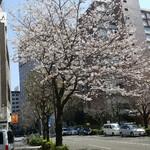 Homemade Ramen 麦苗 - 麦苗手前の一本桜は満開(2017年4月4日)