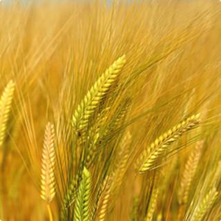 """""""大麦""""にこだわった料理や新しい食感の料理を楽しむ"""