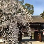 65075177 - この桜が京都の桜、開花の基準です