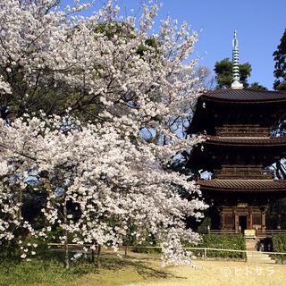 旬の日本料理を味わった後は、桜色に彩られた夜桜さんぽを
