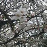 ラーメン 厚木家 - 桜やっと咲いたのに 雨です( ̄▽ ̄;)