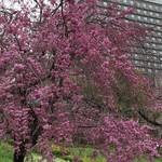 65149134 - OAPタワー近くの桜