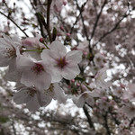 そば舎 あお - 桜が満開