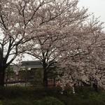 美福苑 - 下から見上げる桜