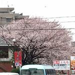 美福苑 - 駐車場の桜が満開です
