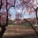 65175178 - 東大野球部の練習風景                       しだれ桜越しなのがよい感じ♫                       同行者は応援団に所属してたらしいので、当時の話なんかも聞きつつ眺める^ ^
