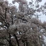 ノンバル - 桜満開