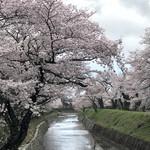 仙人掌 - 七谷川沿いの桜は満開でした。