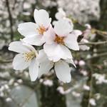 仙人掌 - 桜の花びらは、5枚…
