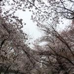 Heroes coffee - オマケ、醍醐寺の桜