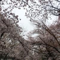 かりんや-オマケ 醍醐寺の桜