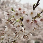65363368 - キャナルシティー前の桜はもう散り始めてました
