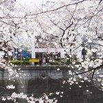 65394572 - 目前の五分咲きの美しい桜です