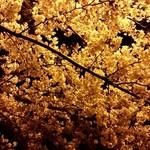 南国酒場リバーサイド - 帰りは曳舟川の夜桜を眺めつつ帰宅