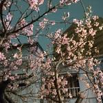 65469583 - 店舗前の桜・・・