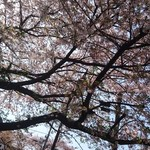 65494713 - テーブルから 上を 見上げて 〜〜  葉桜〜何度も桜の花吹雪が〜〜〜\(^^)/