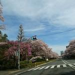 65494927 - 数日前の 満開の 桜