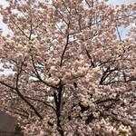 アシッドラシーヌ - 造幣局桜の通り抜けに行かれる際には是非!