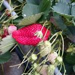 早川農園 - 料理写真:朝一の石垣苺☆