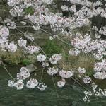 65607347 - 天気は悪いですが桜は満開