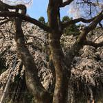 65619549 - 京都、近くのしだれ桜