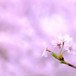 65677542 - せっかくなので桜(2016年:大岡川)