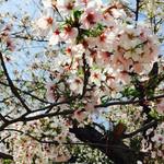65700704 - 可愛らしい桜の花でした