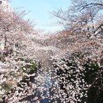 65725979 - 目黒川の美しい桜です