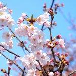 65726083 - 目黒川の美しい桜です