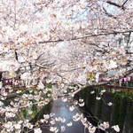 65726167 - 目黒川の美しい桜です