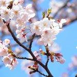 65736148 - 目黒川の美しい桜です