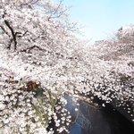 65736151 - 目黒川の美しい桜です