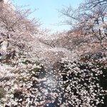 65736158 - 目黒川の美しい桜です