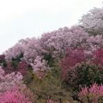 65766605 - お花見山です。遊歩道が整備されているので上まで登れます。