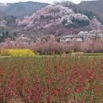 65766627 - 駐車場から見たお花見山です。                        行くまでの道も花畑です。