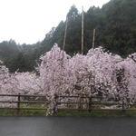 八十八庵 - 駐車場のしだれ桜 2017.4