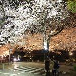 Grill&Wine TOSAKA - アークヒルズ桜並木のライトアップです
