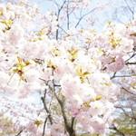 嵯峨野 - 桜が降ってくるよう