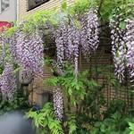 平野屋 - 新世界のあるお店の前の藤の花