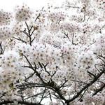 シエロイリオ - 見上げれば桜