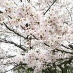 66177025 - 桜のアップ