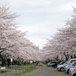 シエロイリオ - 臨時駐車場は桜のトンネル