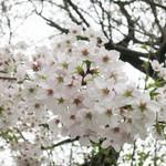 66231726 - 目黒川沿い中目黒の桜