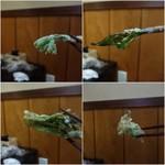 三喜屋 - 行者大蒜、タラ芽、蕗の薹、コシアブラ