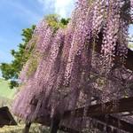 からつバーガー 松原本店 - 藤は4月末が見頃!