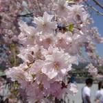 66456682 - 河原の桜