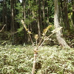 山はげ - 庭のタラの木