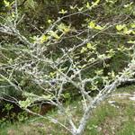 山はげ - 庭の山椒の木