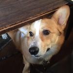 Dogberry - テーブルの下で